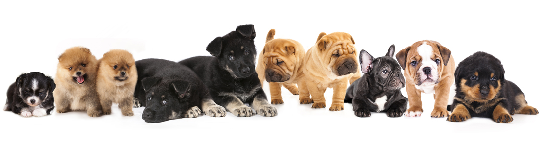 Puppies for Sale - Visit Petland Bolingbrook, Illinois!