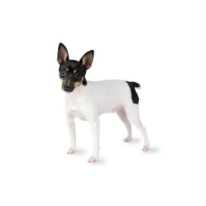 Toy Fox Terrier Puppies in Illinois- Petland Bolingbrook, IL