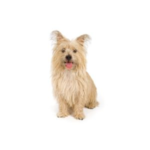 Cairn Terrier Puppies in illinois - Petland Bolingbrook, IL