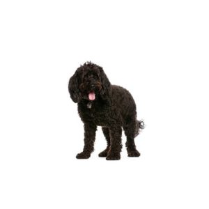 Learn These Mini Cockapoo Puppies For Sale Il {Swypeout}