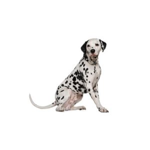 Dalmatian Puppies In Illinois Petland Bolingbrook Il