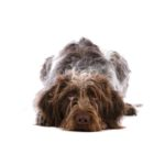 Petland Bolingbrook, IL German Wirehaired Pointer