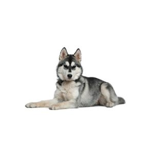Siberian Husky Puppies In Illinois Petland Bolingbrook Il