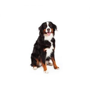Bernese Mountain Dog Puppies Petland Bolingbrook Il