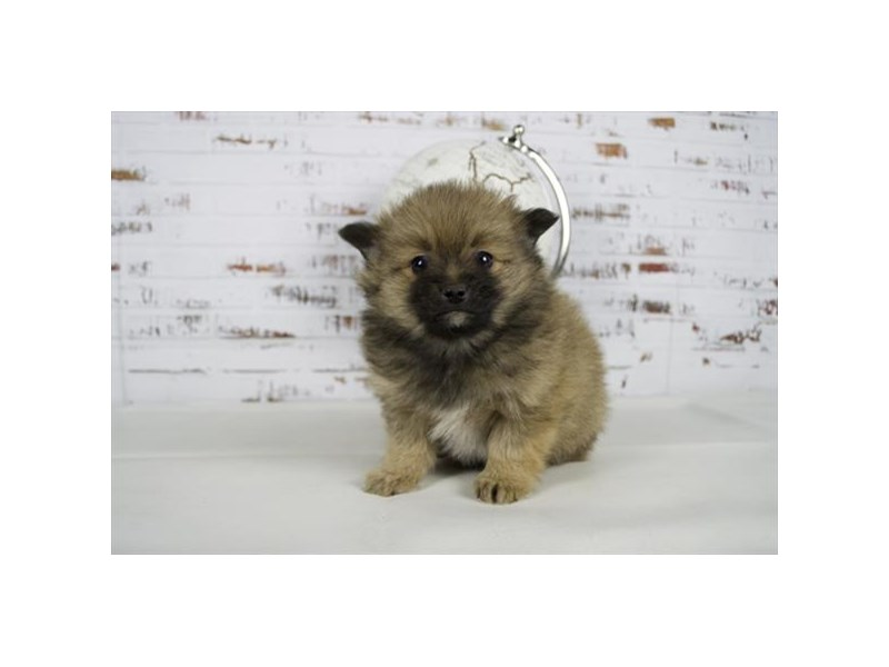 Pomeranian-Male-Sable, Black markings-2625483-Petland Bolingbrook, IL