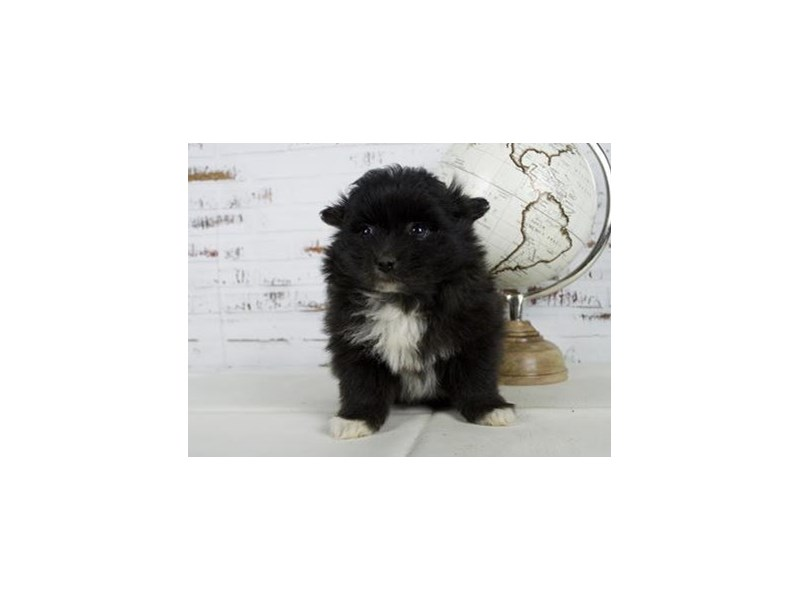 Pomeranian-Female-Black, White Markings-2625491-Petland Bolingbrook, IL
