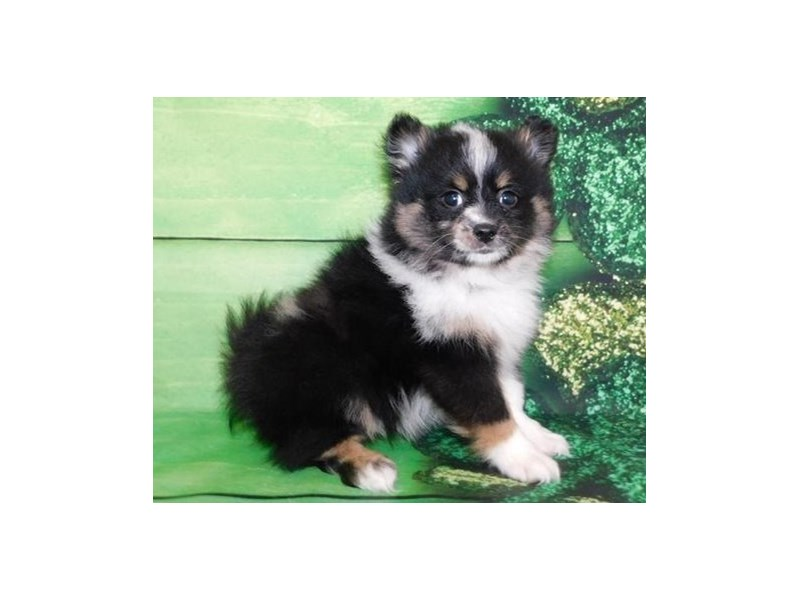 Pomeranian-Male-Black White / Tan-2655735-Petland Bolingbrook, IL