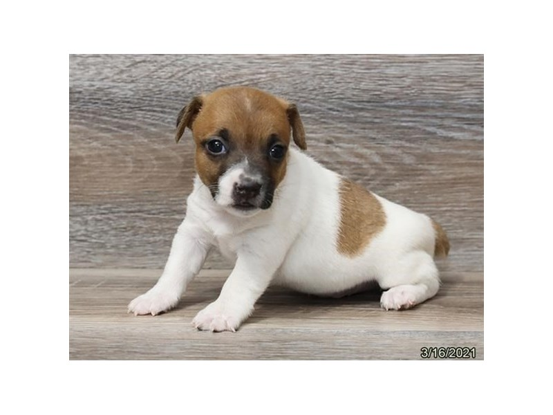 Jack Russell Terrier-Male-Brown / White-3089179-Petland Bolingbrook, IL