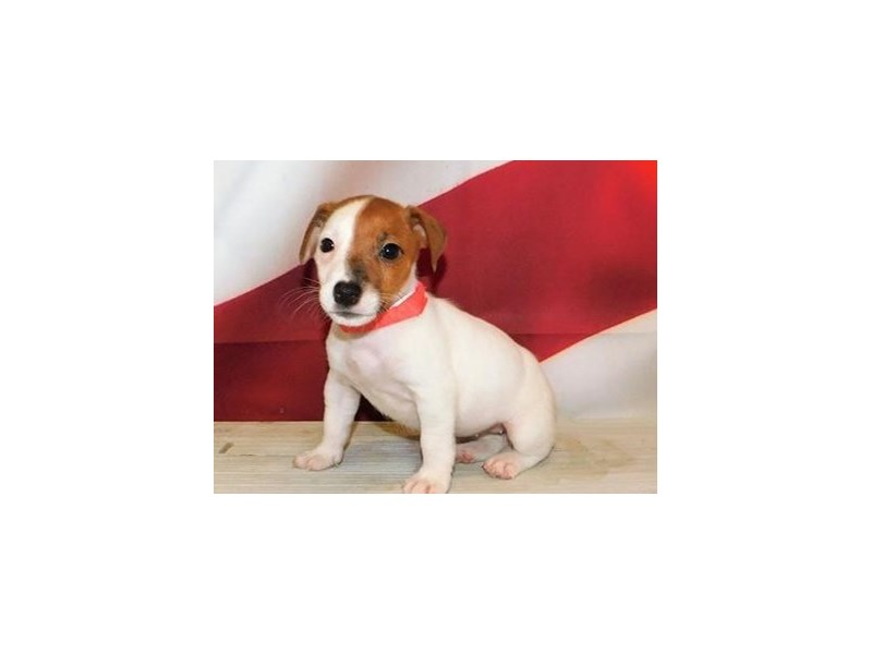 Jack Russell Terrier-Female-Red / White-3163277-Petland Bolingbrook, IL