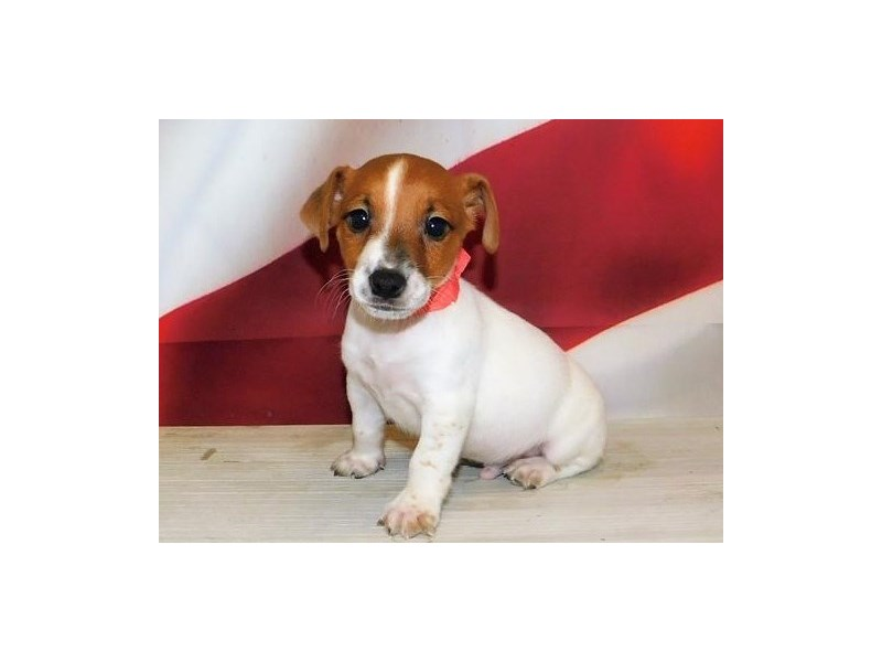 Jack Russell Terrier-Male-Red / White-3163281-Petland Bolingbrook, IL